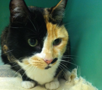 Adoption Cat - Bess
