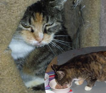 Adoption Cat - Suzi Q