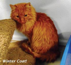 Adoption Cat - Timber